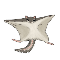 Light gray flying squirrel with lighter gray belly